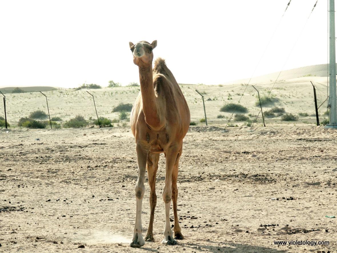 AUH Desert (8)