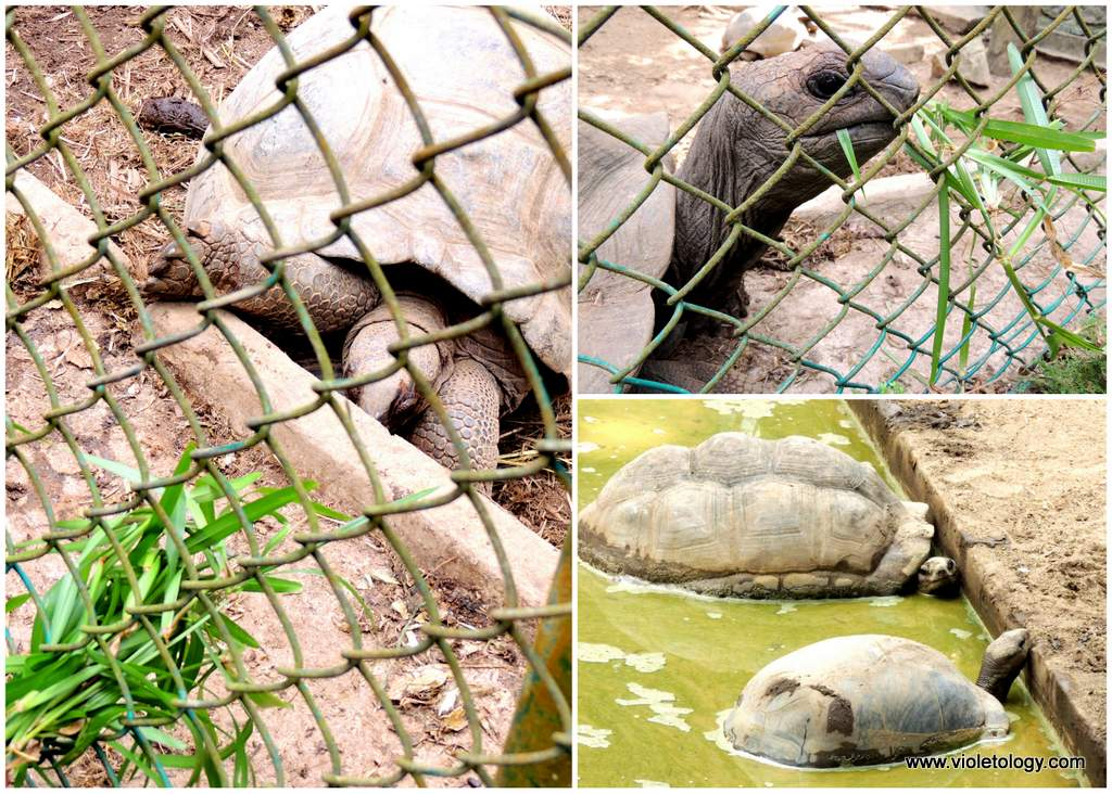seychelles-turtles (3)