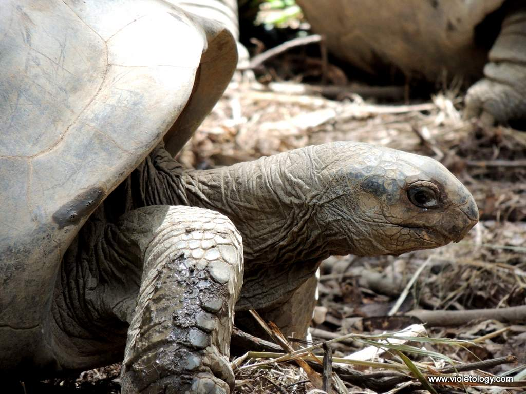 seychelles-turtles (6)