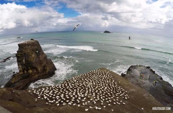 muriwai gannet colony new zealand