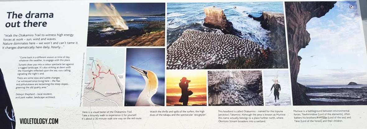 muriwai gannet colony new zealand